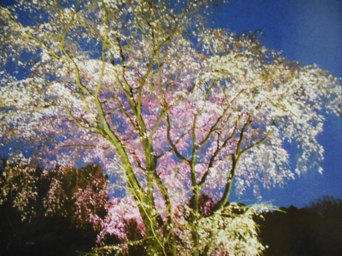 夕暮れに映える桜(東京・六義園)
