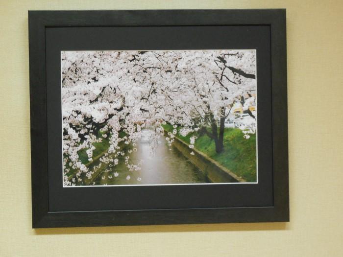 五条川に映える桜