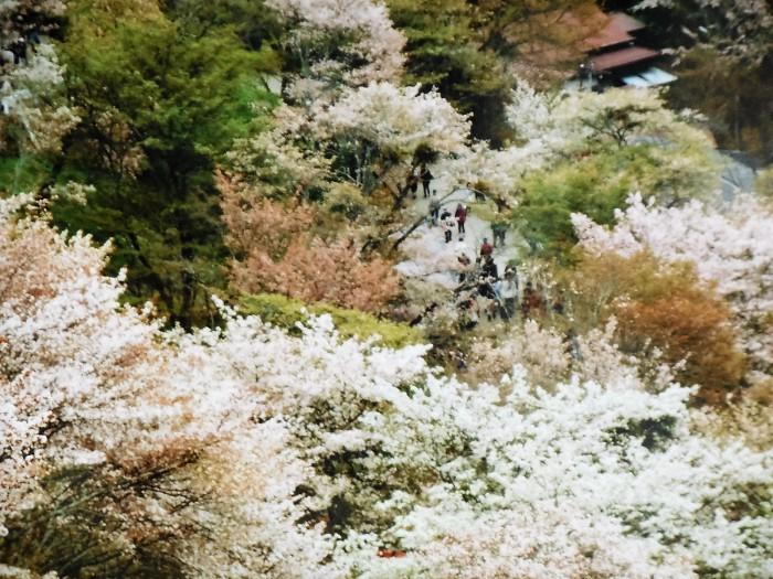 吉野の桜 (Ⅱ) 上千本